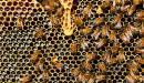 أضرار صمغ النحل