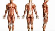 كم عدد العضلات في جسم الإنسان