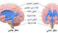 مكونات الدماغ