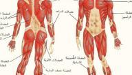 كم عدد العضلات في الجسم