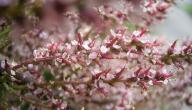 معلومات عن نبات الأثل
