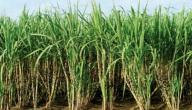 زراعة قصب السكر