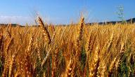 مراحل زراعة القمح