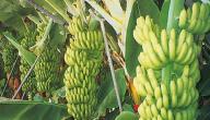 كيفية زراعة الموز