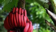 فوائد الموز الأحمر