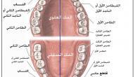 كم عدد الأسنان اللبنية