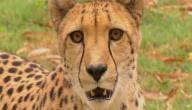 كم تبلغ سرعة الفهد