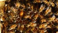 تربية ملكات النحل