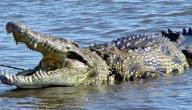صوت التمساح