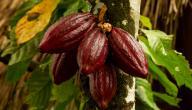 ثمرة الكاكاو