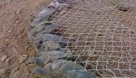 صيد الحجل بالشبك