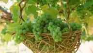 فوائد العنب الأخضر للحامل