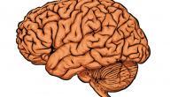 كم يبلغ وزن مخ الإنسان البالغ