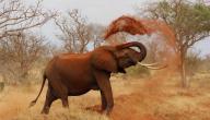 كم سنة يعيش الفيل