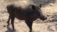 صيد الخنزير في تونس