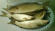 فوائد السمك البوري