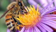 فوائد النحل للإنسان