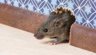 التخلص من الفئران المنزلية