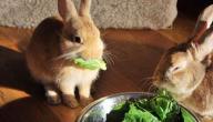 أفضل أكل للأرانب