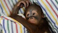 اسم صغير القرد