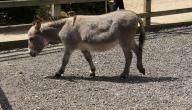 اصغر حصان في العالم