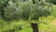 موضوع تعبير عن شجرة الزيتون المباركة