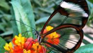 كم عدد أرجل الفراشة