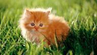 اسم صغير القط