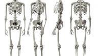 عدد العظام في الجسم