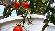 كيف تزرع الطماطم في المنزل