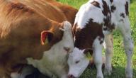 ما صوت البقرة موضوع 2