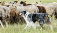 حكم بيع الكلاب