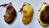 كيف تزرع بذرة المانجو