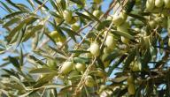 موضوع تعبير عن شجرة الزيتون
