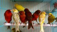 صوت طيور الكناري