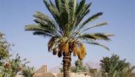 فوائد شجرة النخيل
