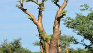 فوائد شجرة المورينقا