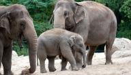 كم يبلغ وزن الفيل