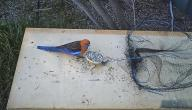 كيف تصنع مصيدة عصافير