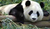 معلومات عن حيوان الباندا