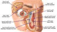 مكونات العين البشرية