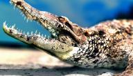 عدد أسنان التمساح