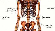 مقال علمي عن الجهاز العظمي