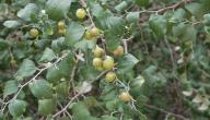 فوائد نبات السدر للشعر