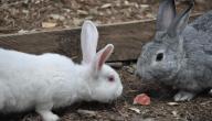 كيف نربي الأرانب