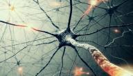عدد الخلايا العصبية في الدماغ