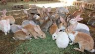 كيف تكون تربية الأرانب