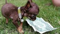 أصغر كلاب العالم