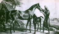 ما الفرق بين الحصان والفرس