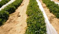 طريقة زراعة الفاصولياء